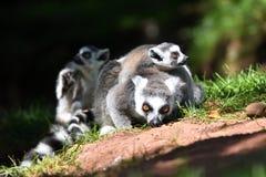 Catta de lémur de lémurs coupé la queue par anneau photographie stock libre de droits