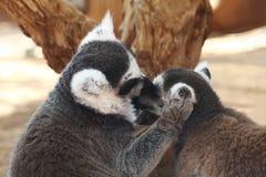 Catta de lémur ou lémurs Anneau-coupés la queue Image libre de droits