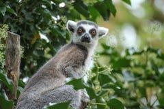Catta de lémur regardant à l'appareil-photo images libres de droits