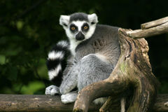 Catta de Lemur images stock