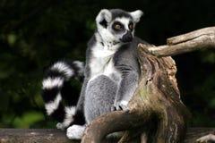 Catta de Lemur images libres de droits