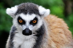 Catta de Lemur Photographie stock