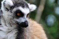 Catta de Lemur Photo libre de droits