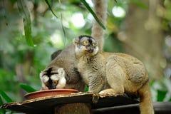 Catta de Lemur (lemur suivi par boucle) Photographie stock
