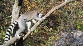 Catta del lémur en el árbol almacen de video