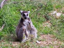 Catta del lémur que se sienta en la hierba Imágenes de archivo libres de regalías