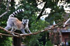 Catta del Lemur Fotografia Stock Libera da Diritti