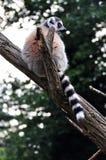 Catta del Lemur Fotos de archivo libres de regalías