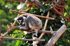 Catta del Lemur Fotografie Stock Libere da Diritti