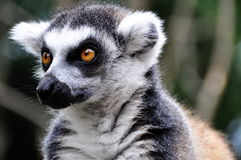 Catta del Lemur Immagini Stock