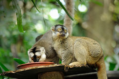 Catta del Lemur (lemur atado anillo) Fotografía de archivo