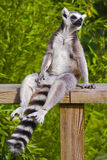 Catta del lemur Ringtailed Immagini Stock