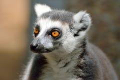 Catta delle lemure delle lemure catta Immagine Stock