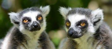 Catta delle lemure delle lemure catta Fotografia Stock