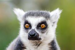 Catta delle lemure Immagine Stock Libera da Diritti