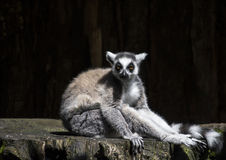 Catta delle lemure Fotografie Stock