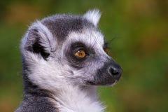 Catta delle lemure Fotografia Stock Libera da Diritti