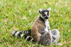 Catta delle lemure del Madagascar Fotografie Stock Libere da Diritti