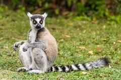 Catta delle lemure del Madagascar Immagine Stock Libera da Diritti