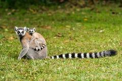 Catta delle lemure del Madagascar Immagini Stock