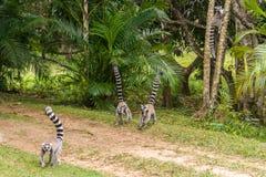 Catta delle lemure del Madagascar Fotografia Stock
