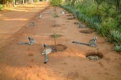 Catta delle lemure del Madagascar Immagine Stock