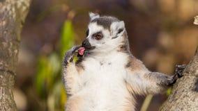 Catta delle lemure delle lemure catta Fotografie Stock Libere da Diritti
