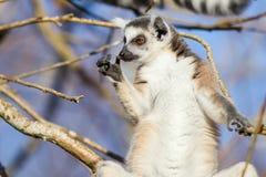 Catta delle lemure delle lemure catta Immagine Stock Libera da Diritti