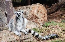 Catta delle lemure delle lemure catta Fotografia Stock Libera da Diritti