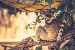 Catta delle lemure delle lemure catta Immagini Stock Libere da Diritti