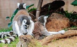 Catta delle lemure delle lemure catta Immagini Stock