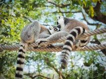 Catta delle lemure di due lemure catta Immagini Stock