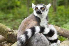 Catta delle lemure di Maki in un albero Immagine Stock