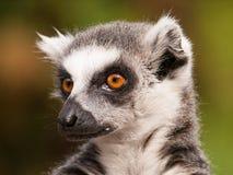 Catta delle lemure - lemure catta dall'isola del Madagascar Fotografia Stock