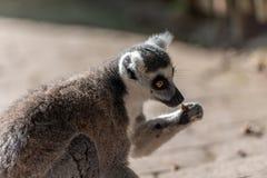 Catta delle lemure mangiare da solo in un parco fotografia stock