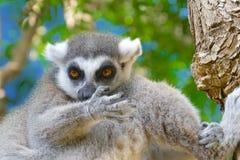 Catta delle lemure nell'habitat naturale Fotografie Stock Libere da Diritti