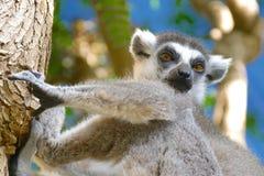 Catta delle lemure nell'habitat naturale Immagini Stock