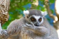 Catta delle lemure nell'habitat naturale Fotografie Stock