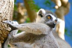 Catta delle lemure nell'habitat naturale Fotografia Stock
