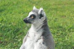 Catta delle lemure su un fondo di erba verde Immagini Stock