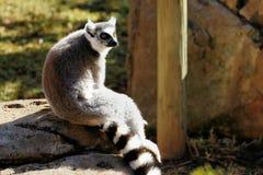 Catta delle lemure delle lemure catta, Sudafrica Immagine Stock Libera da Diritti