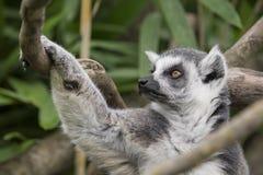 Catta di Lemure Immagine Stock Libera da Diritti