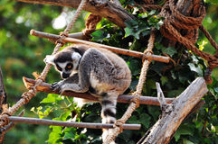 Catta do Lemur Fotos de Stock Royalty Free