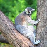 Catta do Lemur Imagem de Stock