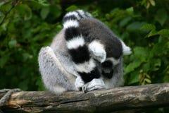 Catta do Lemur Imagens de Stock