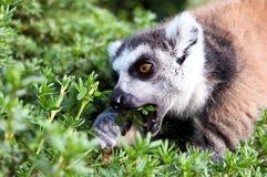 catta lemur Obraz Royalty Free
