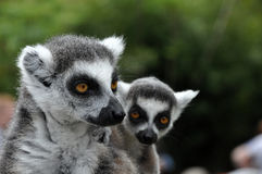 Catta lemur monkeys Royalty Free Stock Image