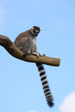 Catta lemur on a tree branch Royalty Free Stock Images