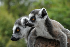 Catta Lemures Immagine Stock Libera da Diritti