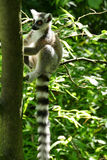 Catta with a long tail sitting in a tree Stock Photos
